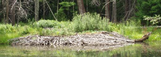 A beaver lodge on the boating lake